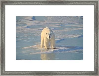 Polar Bear On Ice Framed Print by John Pitcher