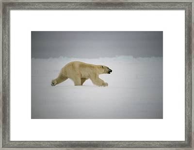Polar Bear Runs Across Frozen Baffin Framed Print