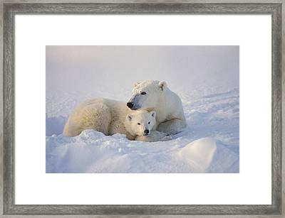 Polar Bear Sow With Cub Framed Print by John Pitcher