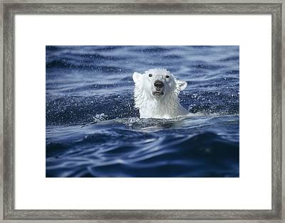 Polar Bear Swimming Off  Baffin Island Framed Print