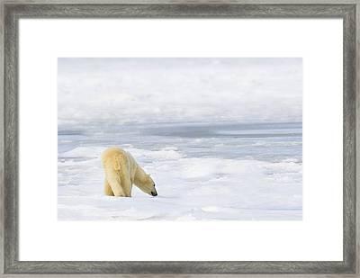 Polar Bear Ursus Maritimus Being Framed Print