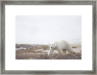 Polar Bear Ursus Maritimus Staring Framed Print