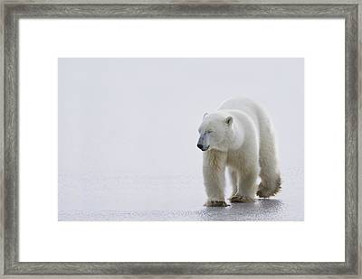 Polar Bear Ursus Maritimus Walking On Framed Print