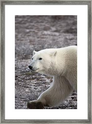Polar Bear Walking Churchill, Manitoba Framed Print by Richard Wear