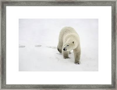 Polar Bear Walking Framed Print by Richard Wear