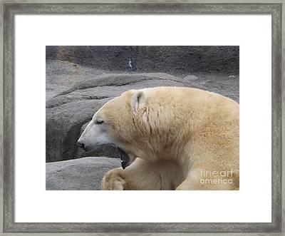 Polar Bear Yawn Framed Print by Sara  Raber