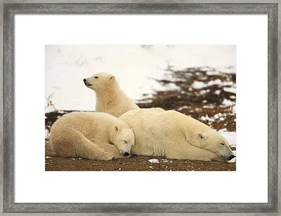 Polar Bears, Mother And Two Cubs Framed Print