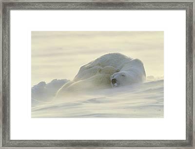 Polar Bears Sleeping At Sunset Framed Print by John Pitcher