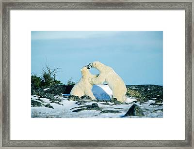 Polar Bears Sparring, Churchill Framed Print by Mike Grandmailson