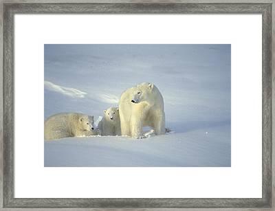 Polar Bears With Cubs Framed Print by John Pitcher