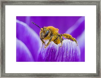 Pollen-covered Bee On Crocus Framed Print