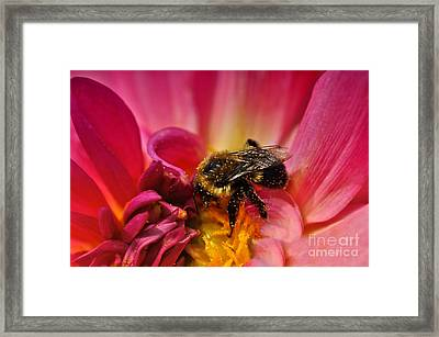 Pollen Covered  Framed Print