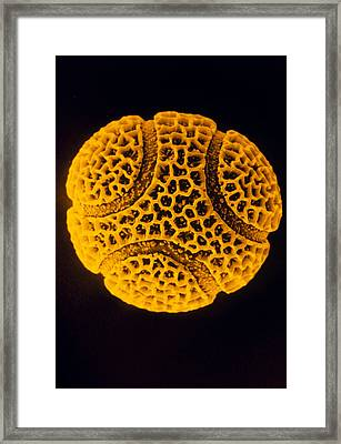 Pollen Grain Of The Passion Flower Framed Print by R.e. Litchfield