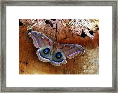 Polyphemus Moth Framed Print by Deborah Johnson