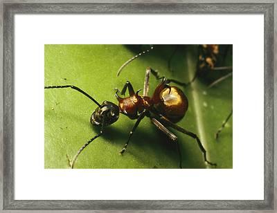 Polyrhachis Ant On A Strangler Fig Leaf Framed Print by Tim Laman
