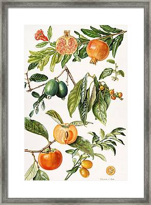 Pomegranate And Other Fruit Framed Print
