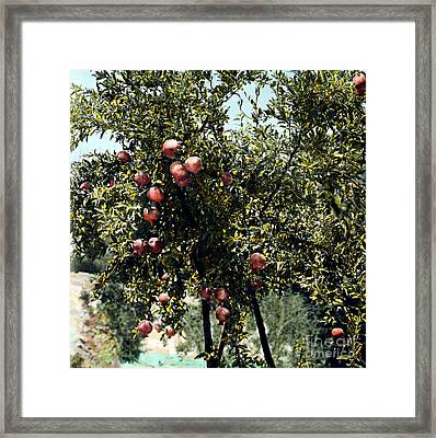 Pomegranate Tree Framed Print by Granger