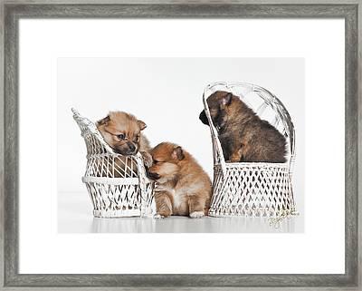 Pomeranian 3 Framed Print