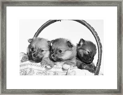 Pomeranian Framed Print by Everet Regal