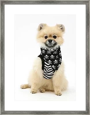 Pomeranian Pirate Framed Print