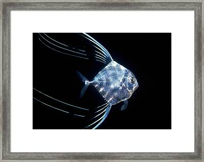 Pompano Juvenile Off  Manualita Island Framed Print by Flip Nicklin