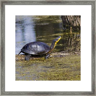 Pond Turtle Basking In The Sun Framed Print
