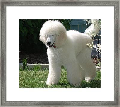 Poodle Bear Framed Print