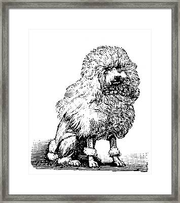 Poodle Framed Print by Granger
