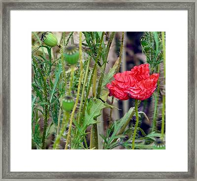 Popped Poppy Framed Print by Rdr Creative