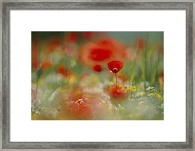 Poppies And Wildflowers In The Desert Framed Print by Annie Griffiths