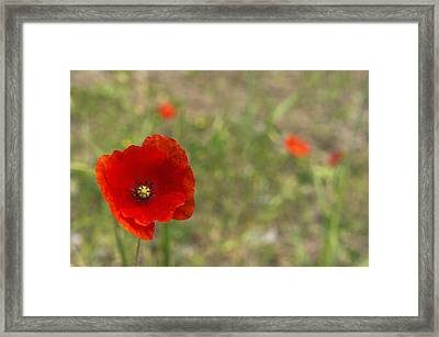 Poppies At Spring (close-up) Framed Print by Sami Sarkis