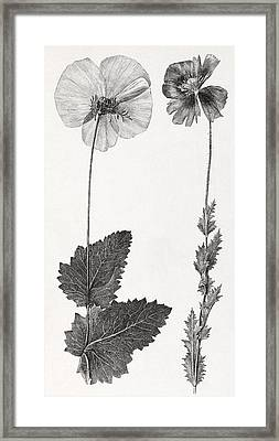 Poppy, 19th Century Artwork Framed Print by Middle Temple Library