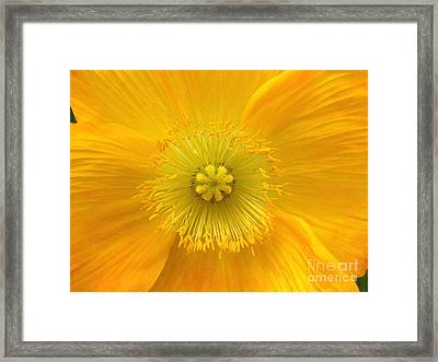 Poppy 2 Framed Print