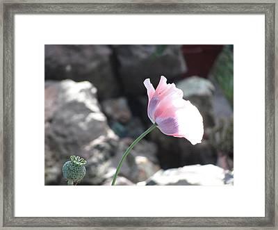Poppy Framed Print by Amy Bradley