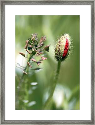 Poppy Bud In A Field Of Oats Framed Print by Carlos Dominguez
