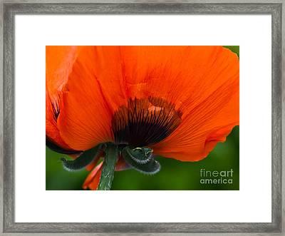 Poppy Close-up Framed Print by Lutz Baar