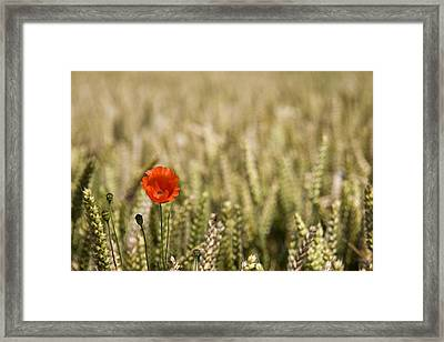 Poppy Flower In Field Of Wheat Framed Print by John Short