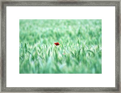 Poppy In Wheat Field Framed Print by By Julie Mcinnes