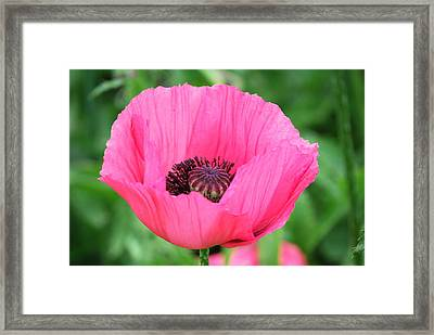 Framed Print featuring the photograph Poppy by Kathy Gibbons