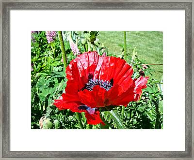 Framed Print featuring the photograph Poppy by Nick Kloepping