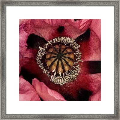 Poppy (papaver Sp.) Framed Print