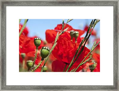 Poppy Pods Framed Print by Jane Rix