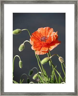 Poppy Framed Print by Rebecca Overton