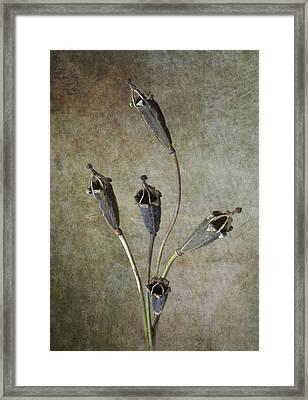 Poppy Seed Cases Framed Print by Debra Kelday