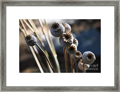 Poppy Seed Pods  2 Framed Print by Tanya  Searcy