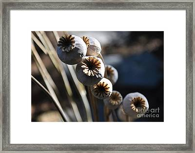 Poppy Seed Pods Framed Print by Tanya  Searcy