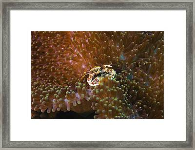 Porcelain Crab In Sea Anemones, North Sulawesi, Sulawesi, Indonesia Framed Print