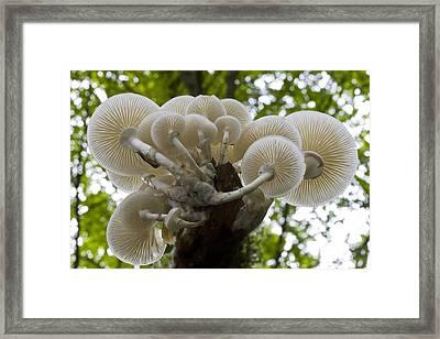 Porcelain Mushroom (oudemansiella Mucida) Framed Print by Dr Keith Wheeler