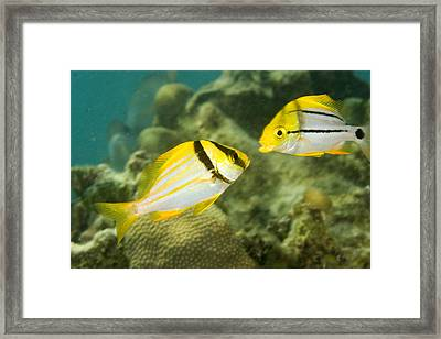 Porkfish In Adult Left And Juvenile Framed Print by Tim Laman