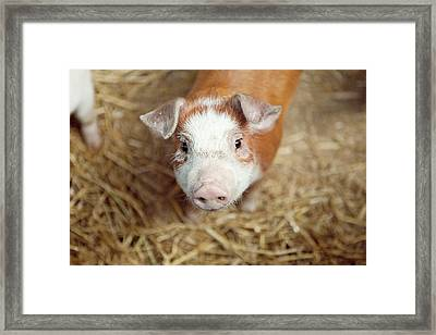 Porquet Framed Print by Roc Canals Photography